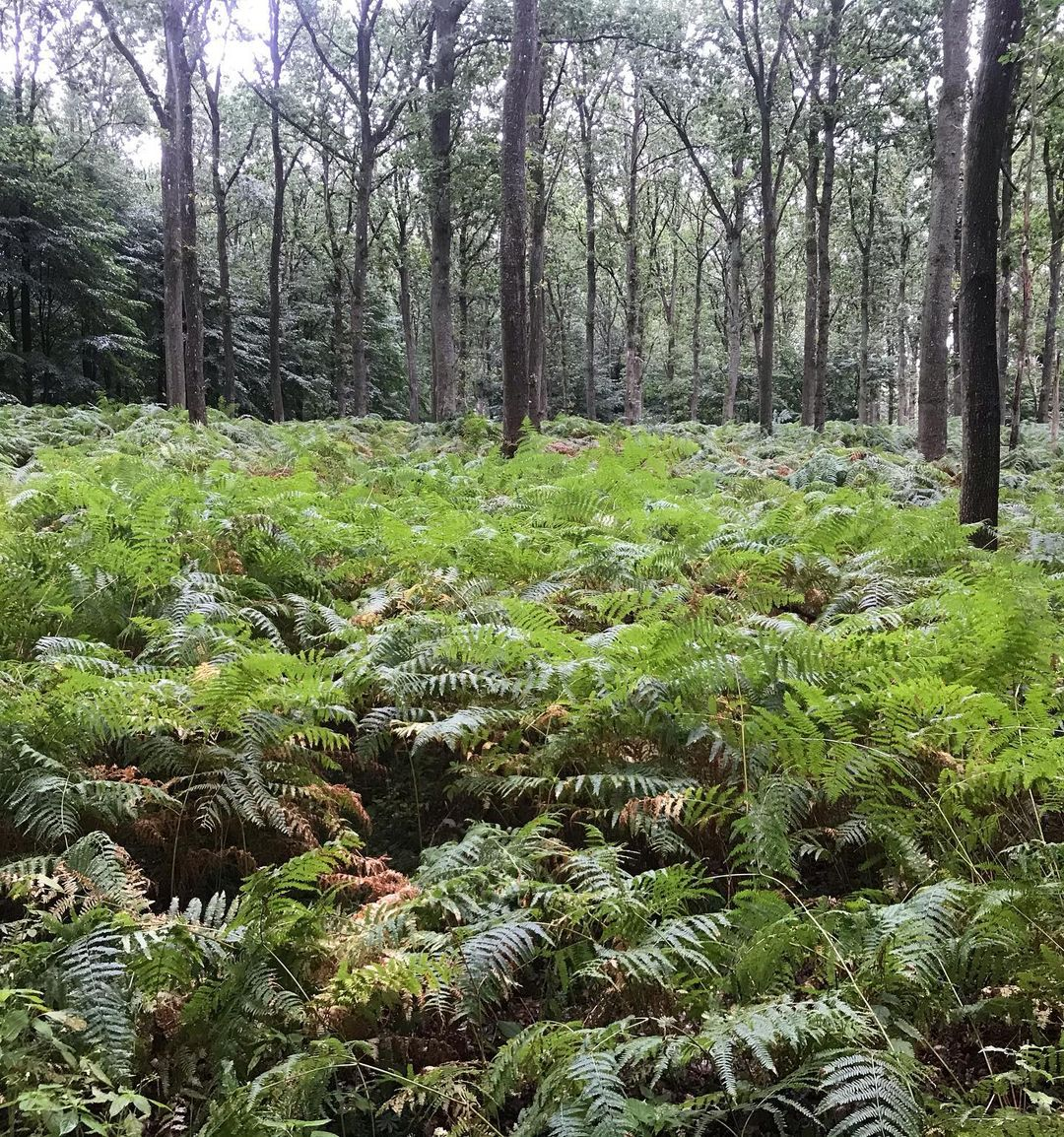 Forest view with tall trees and fern